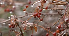 Frozen Crabapples Thaw And Dri...