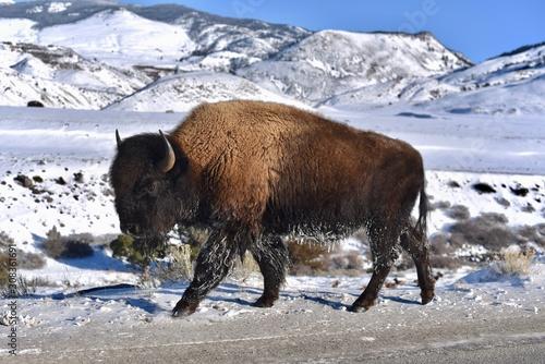 Fotografie, Tablou bison in the park