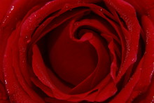 Vibrant Red Rose Flower Close Up Macro. Abstract Background