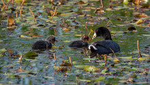 American Coot Mother Feeding Babies