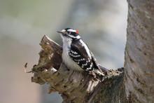 Male Downy Woodpecker In Tree