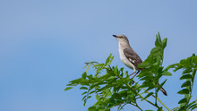 Northern Mockingbird On Branch