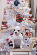 A Small White Chihuahua Dog Is Sitting On A Wooden Stool Next To A Christmas Tree. The Tree Is Decorated With Garlands And Decorations.