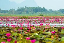 Beautiful Pink Lotus In Swamp