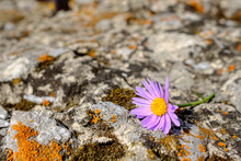 On A Textured Stone With Lichens And Moss Lies A Plucked Lilac Flower Of A Chamomile Species