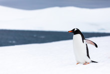 Gentoo Penguin In The Ice And ...