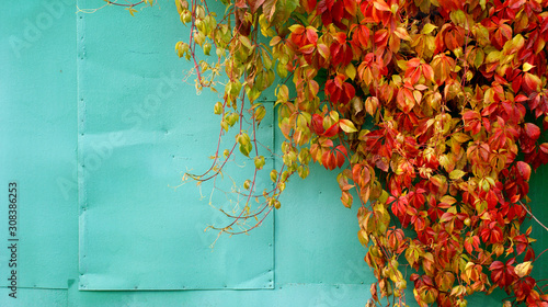 Wall Murals Green coral beautiful bright multi-colored carpet of falling branches of grapes with red and yellow leaves on a background of a metallic blue wall in autumn day