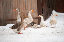 Village Geese Walk In The Wint...
