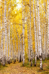 Panel Szklany Brzoza Birch forest in autumn. October