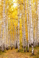 Fototapeta Brzoza Birch forest in autumn. October