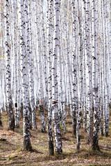 Fototapeta Brzoza Birch forest in spring. May