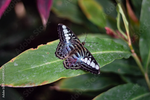 Butterfly with wings open on a green leaf