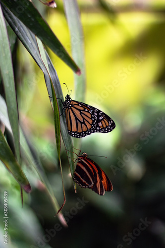 Two butterflies sitting on a greed leaf in a garden