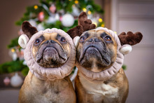 Pair Of Cute Brown French Bull...