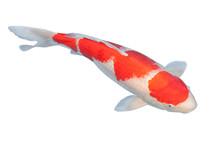 Koi Fish Isolated On White Bac...