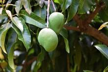 Green Mangoes Growing On Tree ...