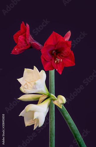 red white amaryllis pair with open blossoms and buds,violet background,fine art Wallpaper Mural