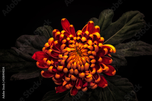Foto low key yellow red chrysanthemum with green leaves blossom macro on black backgr
