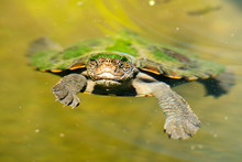 Mary River Turtle Swimming In ...
