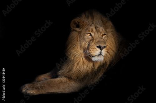 lion portrait on a black background Wallpaper Mural
