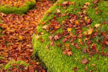 Red Leaves Of Maple Tree Falle...