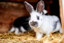 Rabbit In A Cage With Hay. Breeding Rabbits In The Village, On Farms.