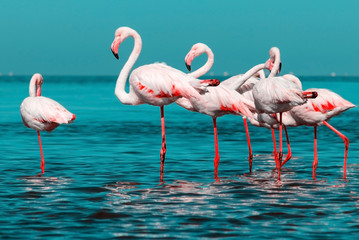 Fototapeta Ptaki Wild african birds. Group of African white flamingo birds and their reflection on the blue water. Walvis bay, Namibia, Africa