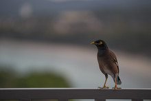 A Bird With A Yellow Beak Sits On The Balcony