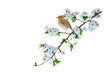 Spring nature and cute bird Robin. White background. Isolated bird and branch.