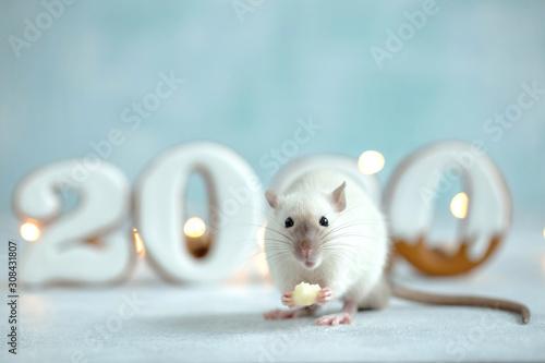 obraz dibond 2020 year rat. Rat with cookies. Animal rat.