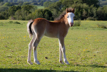 New Born Foal Stands Looking Toward The Camera In The English Countryside.