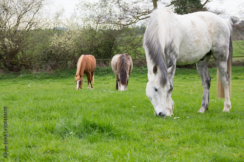 Photo Group of horss grazing on long grass in english meadow getting fat and running the risk of  becoming ill with lamanitus from eating too much rich grass