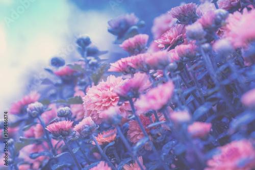 Vintage flower lawn background. Pink chrysanthemum flowers