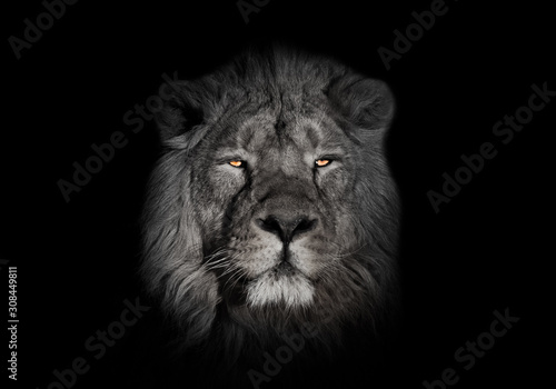Fototapety, obrazy: bright orange eyes, bleached face lion portrait on a black background. looks inquiringly. powerful lion male with a chic mane consecrated by the sun.