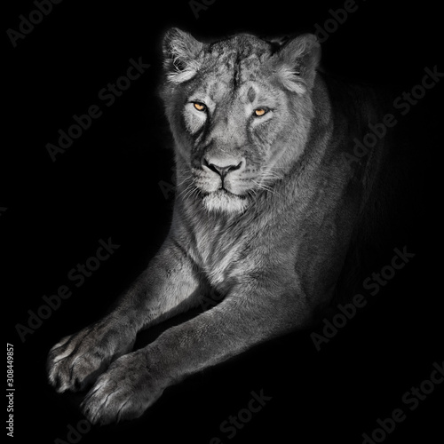 bright orange eyes, bleached face liones on a black background. lioness on a black background. looks attentively. powerful lion female with a strong body walks beautifully in the evening light. Wall mural