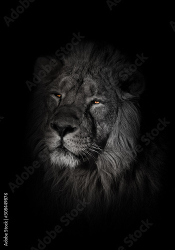 Fototapety, obrazy: orange eyes, bleached face lion portrait on a black background. lying around and looking patronizing. powerful lion male with a chic mane consecrated by the sun.