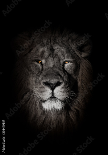 Fototapety, obrazy: orange eyes, bleached face lion portrait on a black background. Full-face portrait - chic hair. powerful lion male with a chic mane consecrated by the sun.