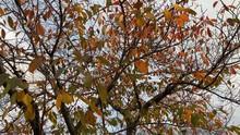 強風に揺れる枯葉 見上げる 紅葉 桜並木 桜 初冬 スロー パンアップ B-roll 桜紅葉_v34_00519(PPEI8393_4_MOV)