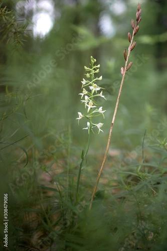 Podkolan biały, storczyk świetlistych lasów i zarośli - 308479086