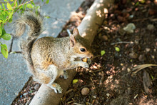 Close Up Of A Squirrel Eating ...