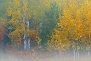 Fototapeta Jesień Foggy autumn landscape of autumn birches, Hiawatha National Forest, Michigan's Upper Peninsula