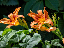 Orange Lily Flowers And Unopen...