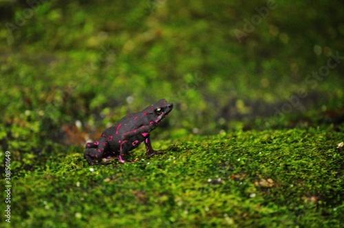 grenouille bicolore Canvas Print