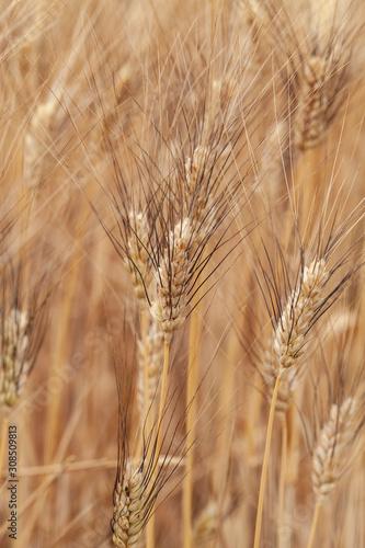 Fototapeta provenza, francia, grano, campo di grano