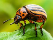 Colorado Potato Beetle Parasit...