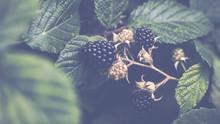 Ripe And Unripe Blackberries O...