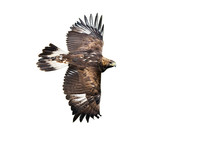 Side View Of Golden Eagle, Aquila Chrysaetos, Flying With Wings Spreading Wide Isolated On White Background. Wild Bird Of Prey In Flight Cut Out. Fast Animal Moving.