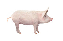 Big Pig Isolated On White Back...