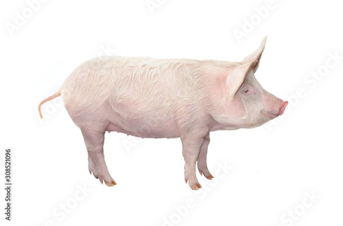 big pig isolated on white background Canvas