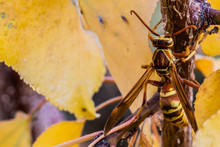 Wasp In Autumn Leaves